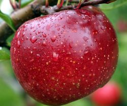 Спелое яблоко для присухи